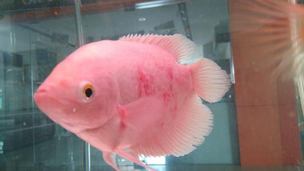 招财鱼身上找红斑,一块一块的好像腐烂一样.以下有图片和全高清图片