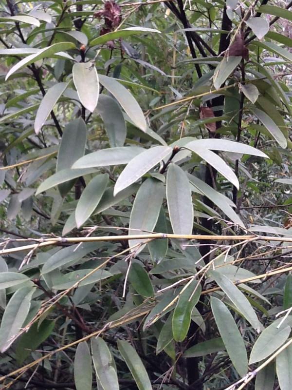 金丝楠木树叶是什么样子 谢谢图片