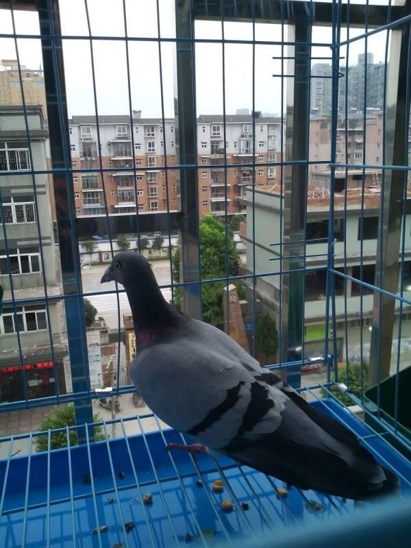 有谁知道怎么分清鸽子的公母图片