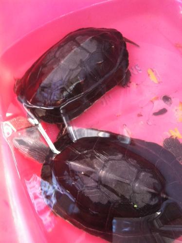 请问这是什么龟怎么分公母下蛋吗图片