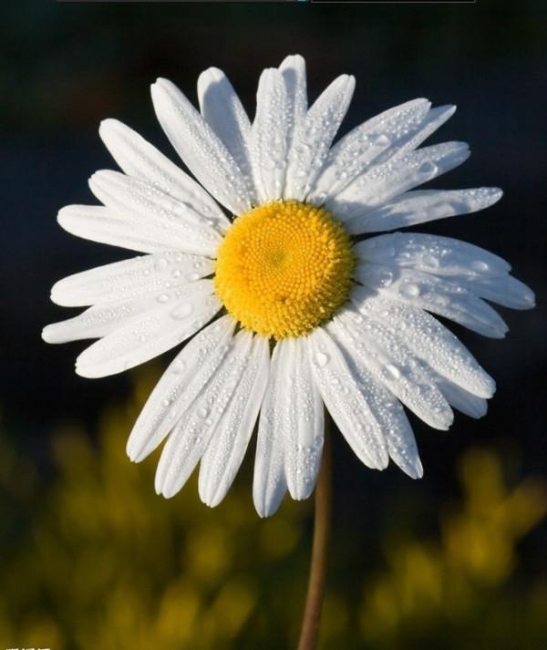 求图片上菊花的品种名字