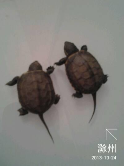 这么大的乌龟怎么养
