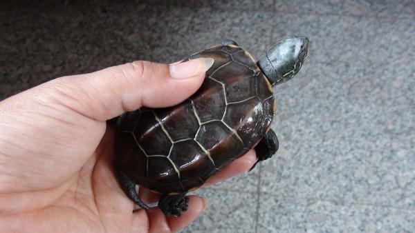 这是中华草龟吗 怎么分辨公母图片