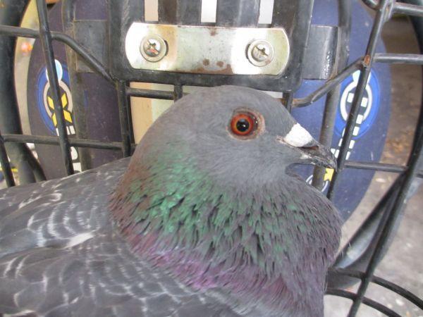 麻烦帮忙分下鸽子公母,谢谢,需要什么图片说一下 我在给照图片