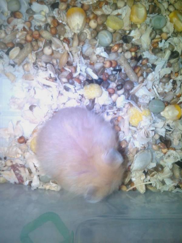 布丁仓鼠出生几天后面才有线 怎么辨极品布丁