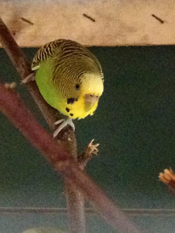 虎皮鹦鹉怎么分公母,我感觉我的要么一对公要么一对母图片