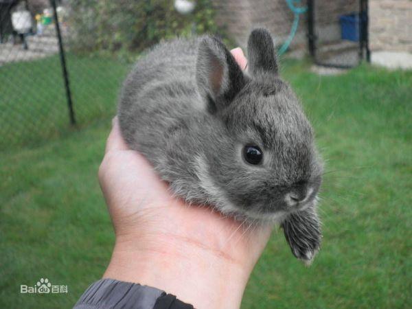 短耳朵短腿的兔子是宠物兔嘛图片