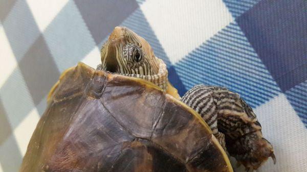 中华龟公母分辨图片图片
