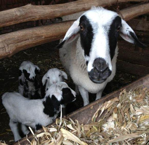 ... 与人配种图片大全_公羊和母羊配种图片_羊公羊和