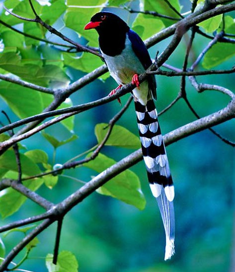 嘴红脚红尾巴有40CM长的鸟_百度知道