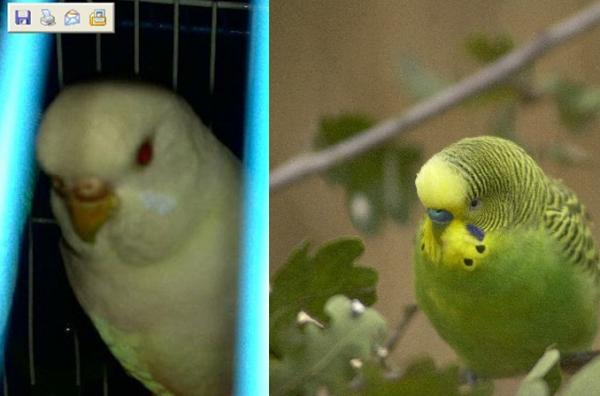 求 黄化虎皮鹦鹉怎样区分母公图片