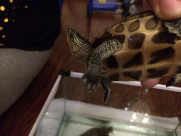 定是什么品种的乌龟,能分辨出公母吗图片