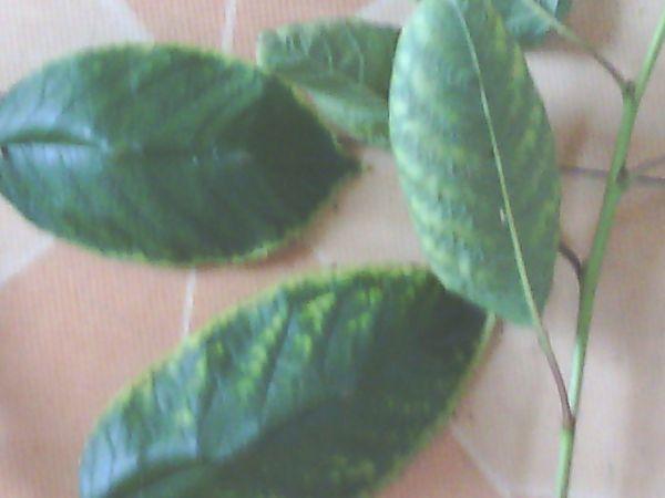 这樱桃树叶是什么病 这个病怎么治 求解答图片