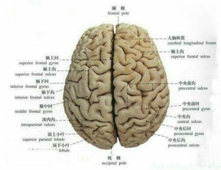 大脑结构_大脑结构图-6